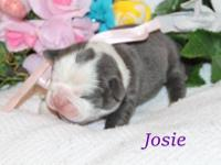 Olde English Bulldogge Puppy. All our puppies are IOEBA
