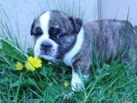 Full Blooded Olde English Bulldogge puppy CKC and IOEBA