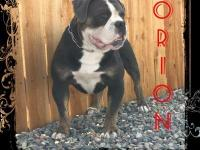 Orion is an outstanding blue trindle stud. He is proven