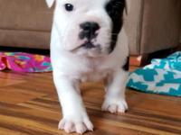Wishbone is all Bulldogge. We are in love with this