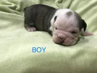 He is a Victorian bulldog. Mom is Old English bulldog