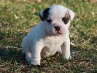 TUSSLE is a BEAUTIFUL Olde English Bulldogge female pup