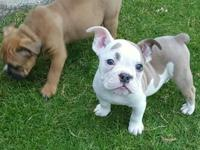 IOEBA Reg Olde English Bulldogge pups. 2 males. DOB: