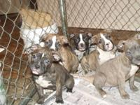 Old English Bulldogge pups. IOEBA registered. 8 weeks