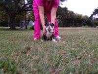 OLDE ENGLISH BULLDOGGE PUPS DUE CHRISTMAS WEEK! PUPS