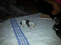 I have 6 Olde English bulldogge young puppies for