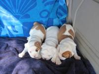 We have a litter of CKC Olde English Bulldogge pups (4