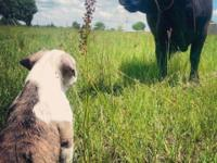 Remarkable puppies From cattle working parents, who are