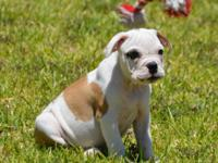 3 females and 2 males Olde English Bulldogge, these are