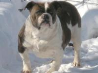 Greenly's Olde English Bulldogges. Starline's Iris is