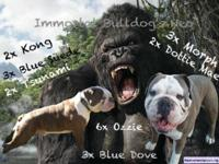 Olde english Bulldogge stud for sale. This immortal