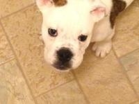Selling our Olde English Bulldogge for $1000 OBO.