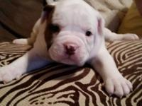 I have 6 olde english bulldogge puppies 4 males 2