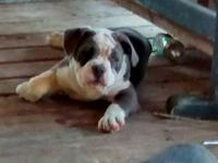 IOEBA registered olde English bulldogges puppies, 10