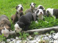 We are searching for loving homes for our puppies. They