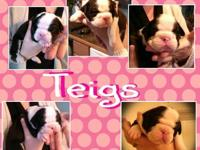 Olde English Bulldogge puppies born 10/26/13. IOEBA
