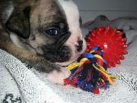 Beautiful pure bred IOEBA registered bulldogges