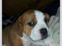 IOEBA Registered olde english bulldogges, only 4 left,