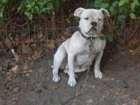 I have an Olde English female Bulldog for sale. She is
