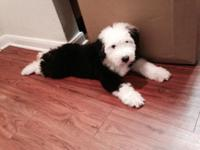 Olde English Sheepdog puppy . Just turned 8 weeks old .
