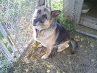 Wanting to re-home our purebred German Shepherd(moms
