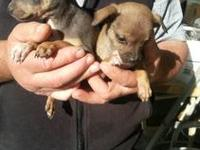 I have an older tea cup chihuahua female i have taken