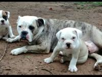 NKC Registered Eng/Am Bulldog pups ( Oldie Bulldogee)