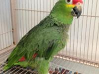 OLive is an adult Red Lored Amazon. Her Mom had to give