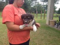 Extremely sweet Black Tri Male AKC registered will be