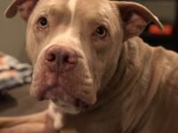 Oliver is a friendly 4 year old male pit mix.  He is
