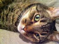 Oliver's story Oliver is a 6 year old brown tabby. He