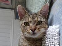 Oliver's story Description: DSH gray tabby Personality: