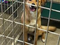 Oliver is a male we think shepherd mix found as a stray