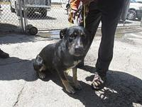 OLIVER's story L18-26668B/ KENNEL 51/ WEIGHT 73.4LBS./