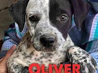 Oliver's story 9 weeks  Male  Australian Cattle Dog Mix