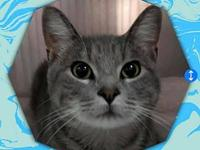 My story OLIVER - M, DSH, Gray Tabby, approximately 8