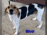 My story Oliver is a young adult hound who was found