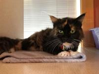 Olivia's story Olivia is a gorgeous 3 year old Calico