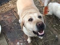 Olivia is a beautiful Yellow Labrador rescued from the