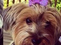 Olivia's story This adorable little Yorkie is Olivia,