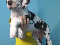 OLKDLIUHGDFD AKC Harlequin Great Dane Puppies! Mom is