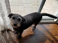 Ollie is a 2 year old Schnauzer/Terrier mix. He is
