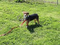 Ollie is a handsome boy! He is a 2 year old Corgi and