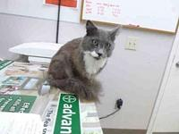 OLLIE's story OLLIE (A085828) is a male, gray Domestic