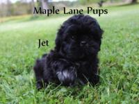Jet is an amazing Solid Black Male Shih Tzu. He has
