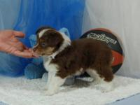 THIS PUPPY IS ON HOLD. Miniature Australian Shepherd