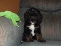 Sassy is a F1B miniature aussiedoodle.She is black with