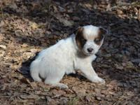 LDR Queensland Heelers just had a GORGEOUS litter of