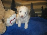 One boy toy poodle born in our home 9-5-15. Mom is a