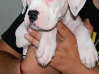 10 Beautiful akc registered ch. bloodline boxer puppies